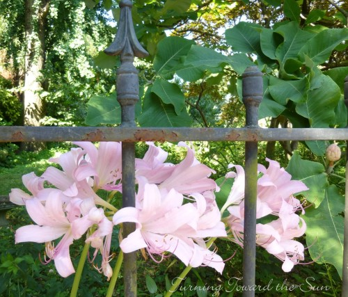 surprise lilies 2