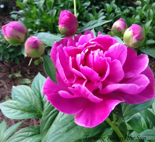 Peonies at Turning Toward the Sun