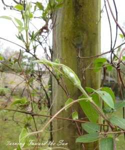 daylight clematis web