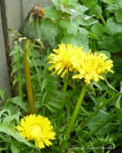 daylight-dandelion-web