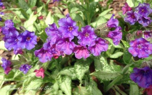 The pulmonaria in the front yard bed began blooming earlier this week.