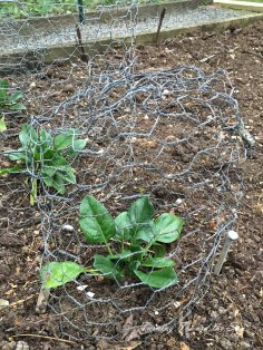 Spinach stays safe for now in wire cloches.