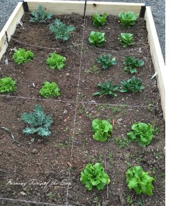 Lettuce transplants in a newly built and shortened raised bed.