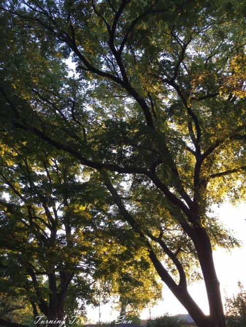 elm-tree-pruned